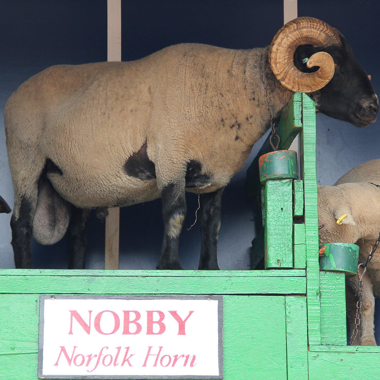 Lambeth Country Show Ram